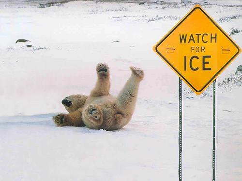Polar-Bear-slipping-on-ice.jpg