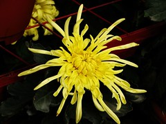 Chrysanthemum 菊花 2006
