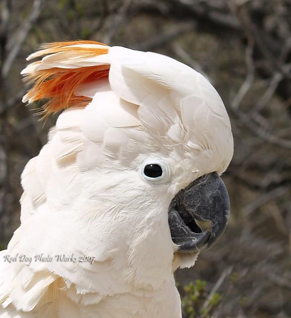 Citron cockatoo - photo#13