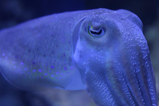 Cuttlefish: go. | Flickr - Photo Sharing!