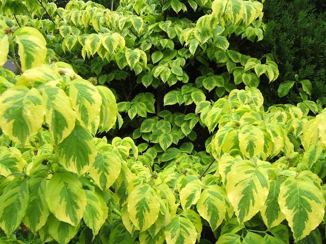 Dogwood - variegated leaves | Flickr - Photo Sharing! Variegated Dogwood Tree