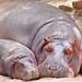 Small photo of Mother hippo and calf