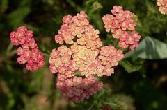 yarrow, annual plant, shrub, flower, plant, herb, wildflower, flora,
