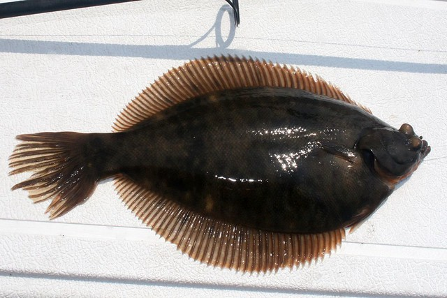 Winter flounder in summer flickr photo sharing for Winter flounder fishing