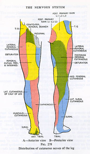 Nerves Of The Legs