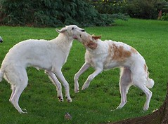 dog sports, dog breed, animal, magyar agã¡r, silken windhound, dog, polish greyhound, whippet, galgo espaã±ol, sighthound, saluki, sloughi, longhaired whippet, lurcher, irish wolfhound, carnivoran, borzoi,