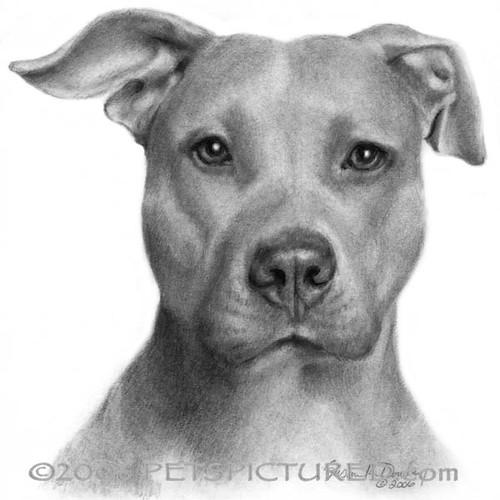 American Pit Bull Terrier | Original graphite pencil ...