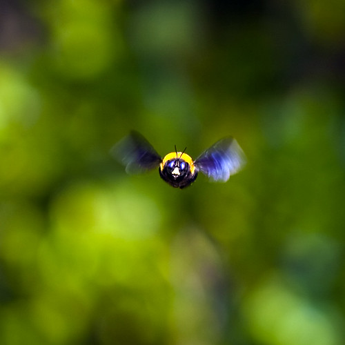 Flight of a bumblebee #1