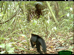White-faced Capuchin