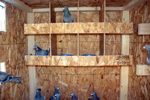 Building roller pigeon lofts related keywords building for Pigeon coop ideas