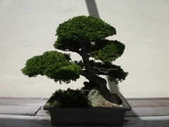 shrub(1.0), tree(1.0), plant(1.0), sageretia theezans(1.0), houseplant(1.0), bonsai(1.0),