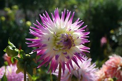 annual plant, dahlia, flower, plant, macro photography, wildflower, flora, close-up, pink, petal,