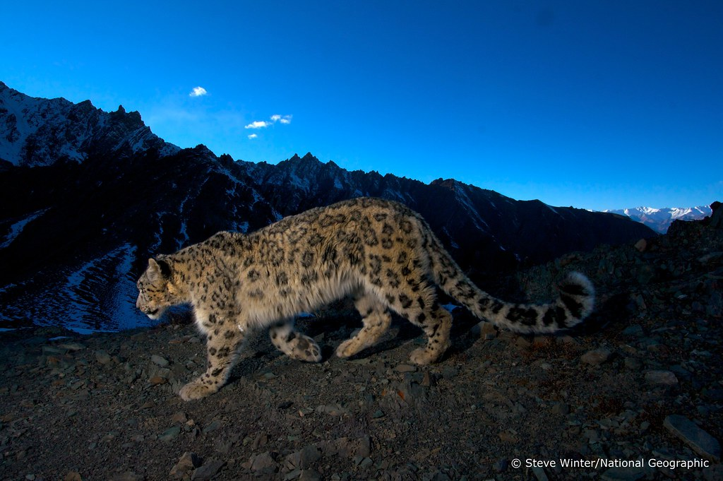 Snow leopard against a mountain backdrop - Ladakh, India