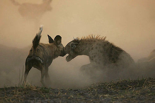 Wild dogs vs spotted hyaena