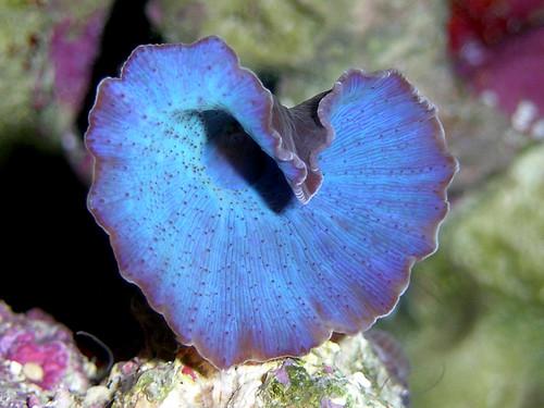 BLUE LABIA-2 DSCN3393
