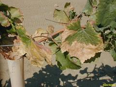 Grapevine w Pierces Disease 02