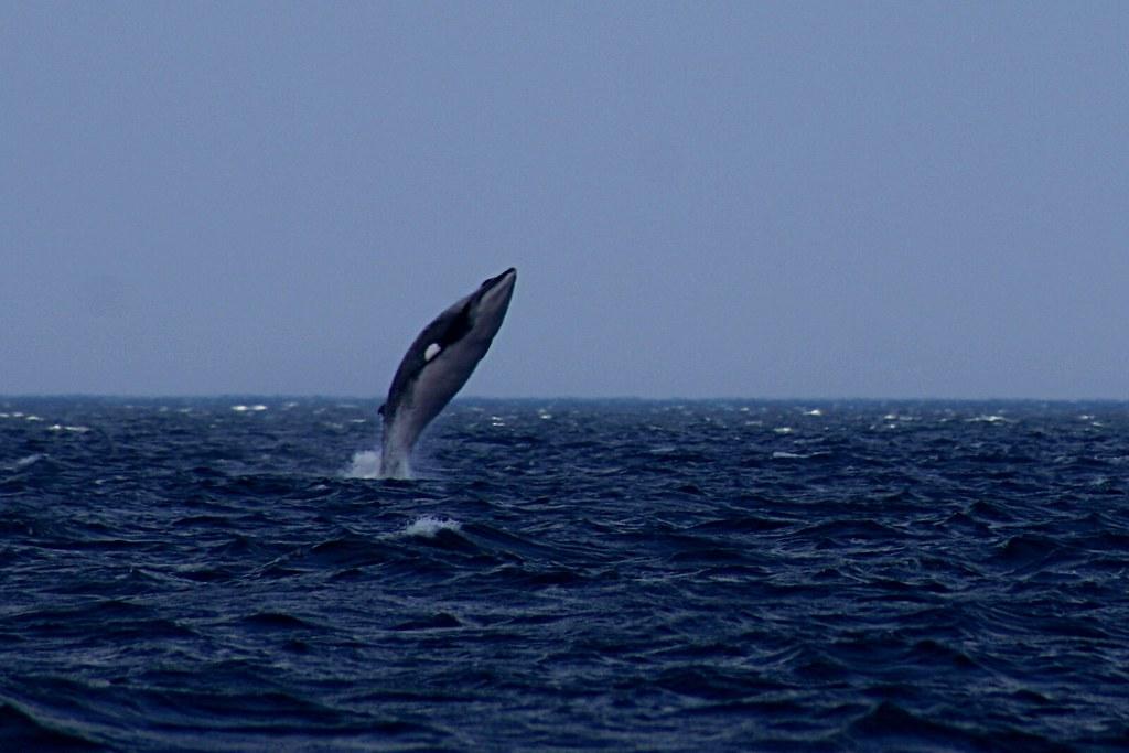 Minke Whale Breaching