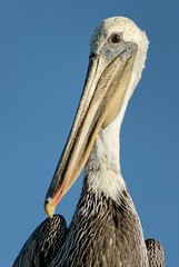 stork(0.0), marabou stork(0.0), white stork(0.0), animal(1.0), pelican(1.0), wing(1.0), fauna(1.0), close-up(1.0), ciconiiformes(1.0), beak(1.0), bird(1.0), seabird(1.0), wildlife(1.0),