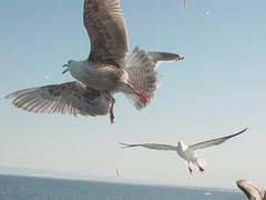 Sea gulls in Hokkaido (original)