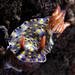 Hypselodoris infucata - Photo (c) Doug Anderson, some rights reserved (CC BY-NC)