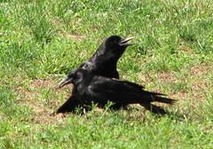 Crows, Rose Garden, Raleigh NC 6757