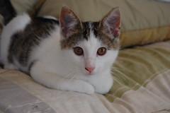 burmilla(0.0), snowshoe(0.0), american shorthair(0.0), nose(1.0), animal(1.0), small to medium-sized cats(1.0), pet(1.0), european shorthair(1.0), cat(1.0), carnivoran(1.0), whiskers(1.0), manx(1.0), domestic short-haired cat(1.0),