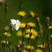Dandelions and Butterfly by lynne bernay-roman