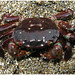 Purple Shore Crab - Photo (c) Dan Hershman, some rights reserved (CC BY)
