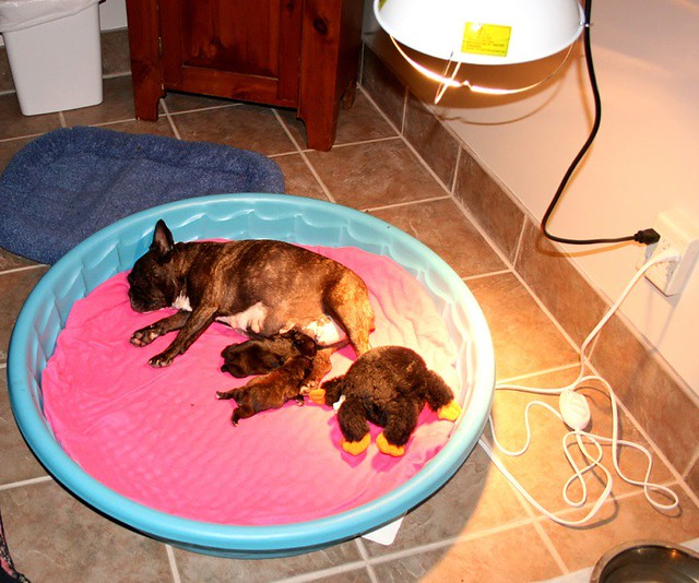 Pregnant Dog Puppies For Sale
