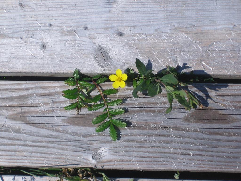 Flower through the boardwalk at St Pauls, Newfoundland