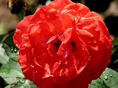 Rose Garden, Raleigh NC 6761