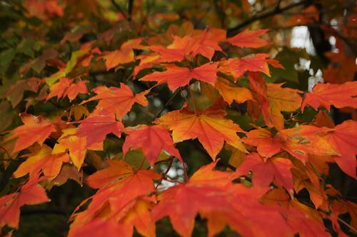 Acer flabellatum