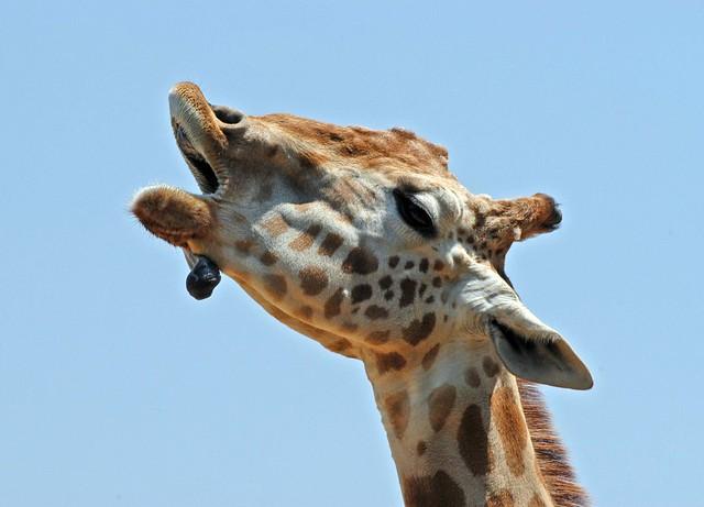 N. Laryngeus Recurrens Giraffe singing giraffe...