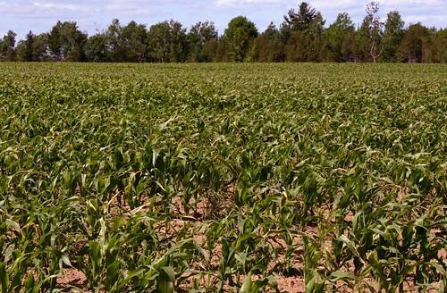 field geotagged corn maine exeter geo:lat=4497835 geo:lon=691023333333333