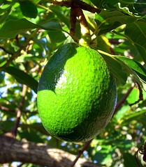 evergreen, breadfruit, branch, tree, key lime, green, fruit,