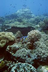 菲律賓阿波島附近的軟珊瑚,遭受炸魚摧殘後,正由在地團體復育中 (Photo by Arne Kuilman)
