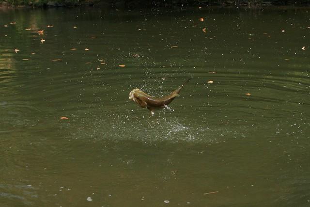 Smallmouth bass jumping