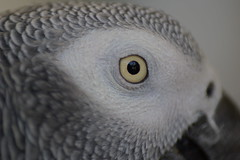 bird of prey(0.0), falcon(0.0), wing(0.0), head(0.0), animal(1.0), parrot(1.0), white(1.0), fauna(1.0), close-up(1.0), beak(1.0), african grey(1.0), bird(1.0),