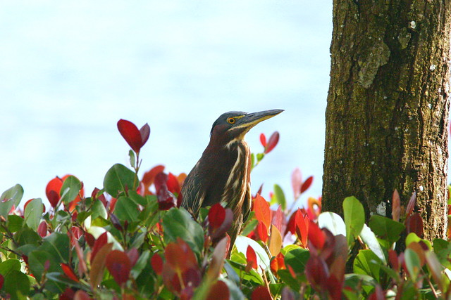 Green Heron In Cocoplum 20090105