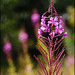 Fireweed - Photo (c) Steve Chilton, some rights reserved (CC BY-NC-ND)