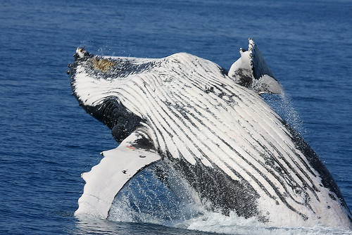 Hervey Bay Whales 3938