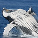 Humpback Whale - Photo (c) Michael Dawes, some rights reserved (CC BY-NC)