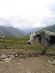 sheep(0.0), grazing(0.0), mountain goat(0.0), cattle-like mammal(1.0), animal(1.0), farm(1.0), mountain(1.0), mountain range(1.0), mammal(1.0), highland(1.0), fauna(1.0), cattle(1.0), yak(1.0), pasture(1.0), rural area(1.0), wildlife(1.0),