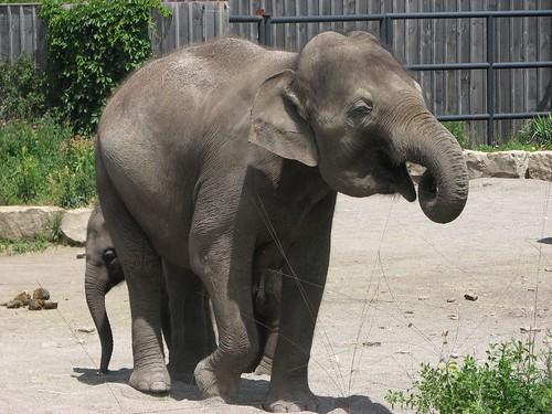 Shy elephant baby