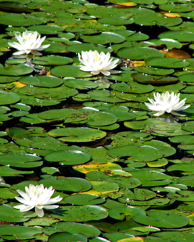 Lotus flowers and lily pads in slide lake a photo on flickriver lotus flowers and lily pads in slide lake izmirmasajfo