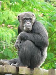 A chimpanzee at Portland zoo