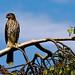 Small photo of Jeuvenile Cooper's Hawk- Accipiter cooperii