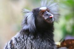primate(0.0), langur(0.0), macaque(0.0), animal(1.0), mammal(1.0), fauna(1.0), marmoset(1.0), close-up(1.0), old world monkey(1.0), new world monkey(1.0), wildlife(1.0),