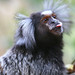 Common Marmoset - Photo (c) LASZLO ILYES, some rights reserved (CC BY)