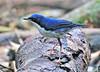 siberian blue robin (luscinia cyane) by punkbirdr